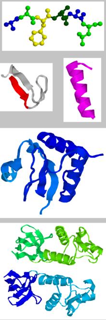 Die vier Ebenen der Proteinstruktur, von oben nach unten: Primärstruktur, Sekundärstruktur, Tertiär- und Quartärstruktur